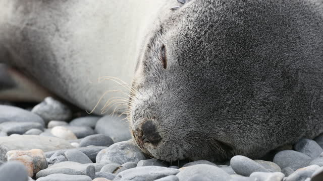 southern elephant seal puppy sleeping on pebbles - southern elephant seal stock videos & royalty-free footage