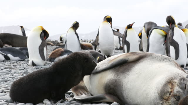 southern elephant seal puppy suckling and king penguins on pebbled beach - southern elephant seal stock videos & royalty-free footage