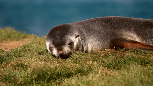 ms southern elephant seal pups sleeping in the grass, grytviken, south georgia and the south sandwich islands - elefante marino del sud video stock e b–roll