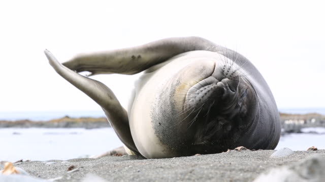 southern elephant seal rubbing flippers together, macquarie island - seals stock videos and b-roll footage