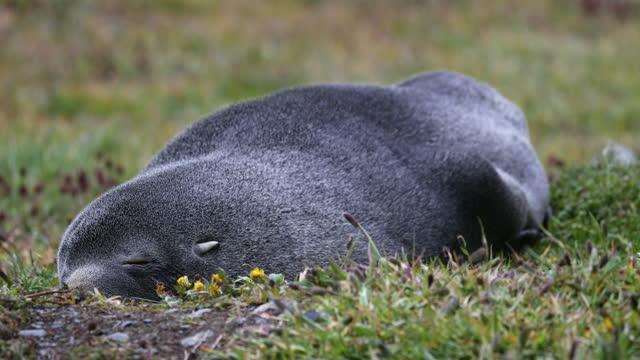 southern elephant seal sleeping on grass - südlicher seeelefant stock-videos und b-roll-filmmaterial
