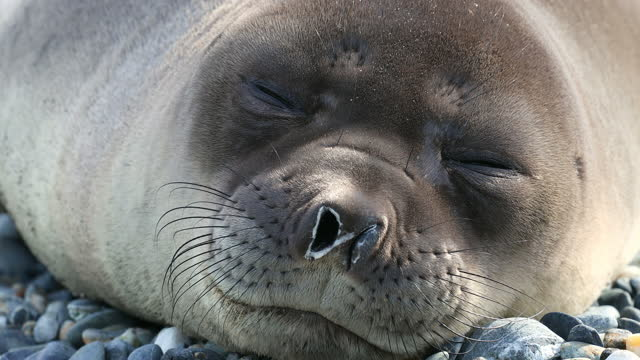 southern elephant seal sleeping on pebbles - elephant seal stock videos & royalty-free footage