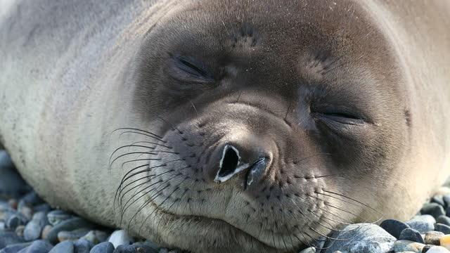 southern elephant seal sleeping on pebbles - southern elephant seal stock videos & royalty-free footage
