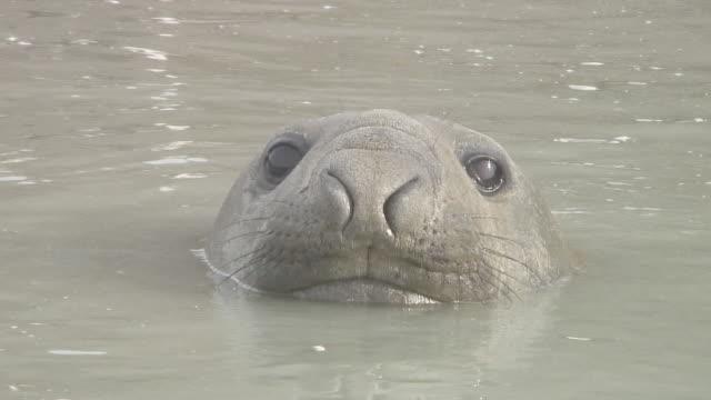 vídeos de stock e filmes b-roll de southern elephant seal (mirounga leonina), st andrews, south georgia, antarctica, southern - elefante marinho