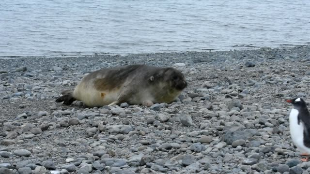 southern elephant seal - elephant seal stock videos & royalty-free footage