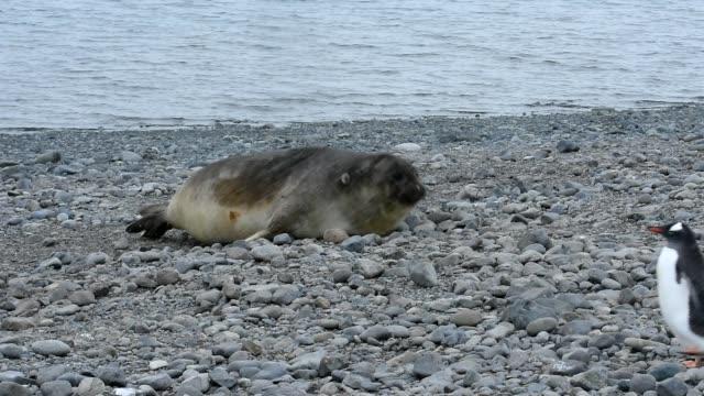 vídeos de stock e filmes b-roll de southern elephant seal - elefante marinho