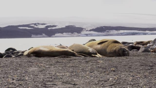vidéos et rushes de southern elephant seal - éléphant de mer du sud