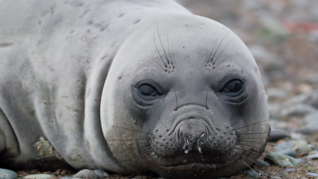 southern elephant seal - südlicher seeelefant stock-videos und b-roll-filmmaterial