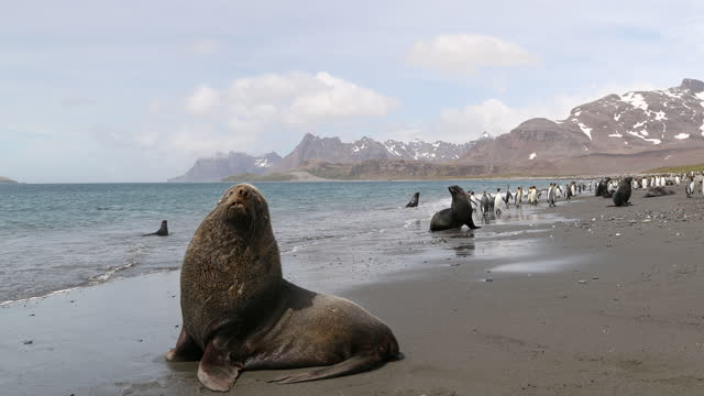southern elephant seals and king penguins on beach - elephant seal stock videos & royalty-free footage
