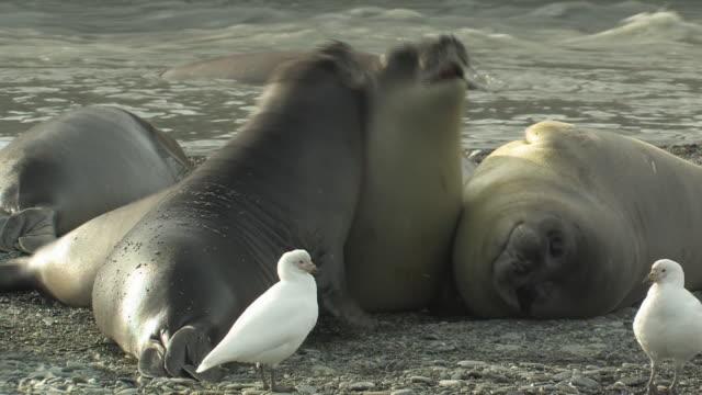 cu, pan, southern elephant seals (mirounga leonina) jostling at water's edge, american sheathbills (chionis alba) wandering nearby, south georgia island, falkland islands, british overseas territory - südlicher seeelefant stock-videos und b-roll-filmmaterial