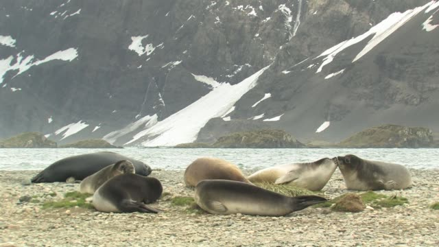 ms, southern elephant seals (mirounga leonina) lying at water's edge, snowy mountains in background, south georgia island, falkland islands, british overseas territory - elefante marino del sud video stock e b–roll
