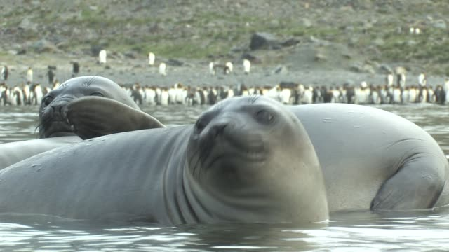 cu, southern elephant seals (mirounga leonina) lying in shallow water, king penguins (aptenodytes patagonicus) on shore in background, south georgia island, falkland islands, british overseas territory - elefante marino del sud video stock e b–roll