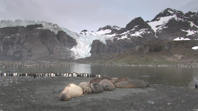 ws, southern elephant seals (mirounga leonina) lying near lake, ringed by king penguins (aptenodytes patagonicus), glacier and snowy mountains in background, south georgia island, falkland islands, british overseas territory - elefante marino del sud video stock e b–roll