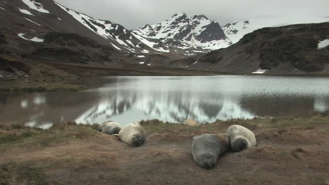ws, southern elephant seals (mirounga leonina) lying near lake, snowy mountains in background, south georgia island, falkland islands, british overseas territory - elefante marino del sud video stock e b–roll