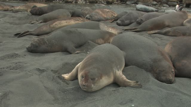 ms, southern elephant seals (mirounga leonina) lying on beach, flipping sand on themselves to keep cool, south georgia island, falkland islands, british overseas territory - elefante marino del sud video stock e b–roll
