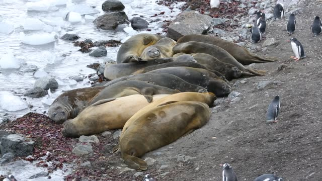 southern elephant seals; mirounga leonina, with gentoo penguins at hannah point, on livingston island in the south shetland islands off the antarctica peninsular. - elefante marino del sud video stock e b–roll