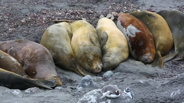 vídeos de stock e filmes b-roll de southern elephant seals; mirounga leonina, with gentoo penguins at hannah point, on livingston island in the south shetland islands off the antarctica peninsular. - elefante marinho