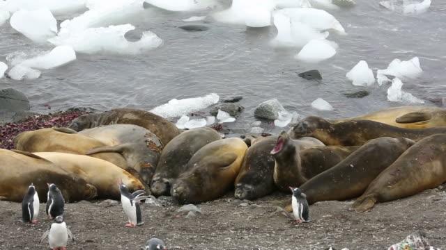 vídeos y material grabado en eventos de stock de southern elephant seals; mirounga leonina, with gentoo penguins at hannah point, on livingston island in the south shetland islands off the antarctica peninsular. - elefante marino del sur