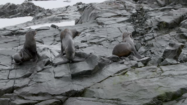 stockvideo's en b-roll-footage met southern elephant seals on rocks - zeeolifant