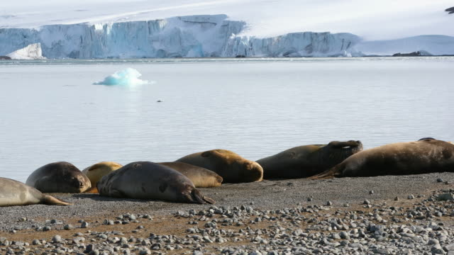southern elephant seals sleeping on an antarctic beach - südlicher seeelefant stock-videos und b-roll-filmmaterial