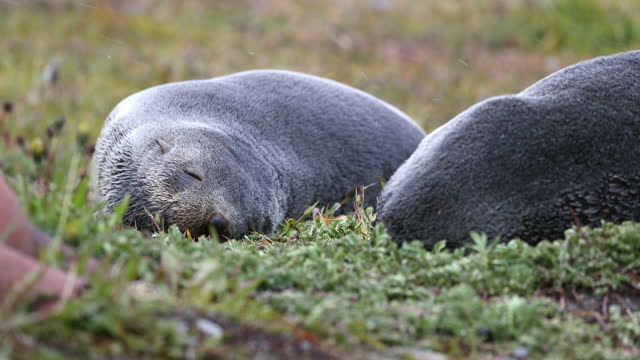 southern elephant seals sleeping on grass in snowfall - southern elephant seal stock videos & royalty-free footage