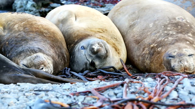 southern elephant seals - elefante marino del sud video stock e b–roll