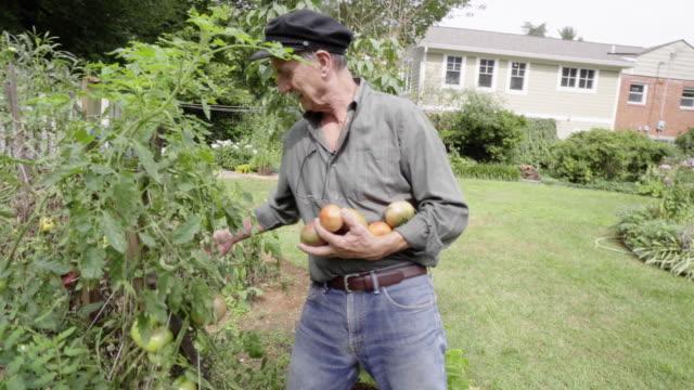southern european senior picking tomatoes from his vegetable garden - southern european stock videos & royalty-free footage