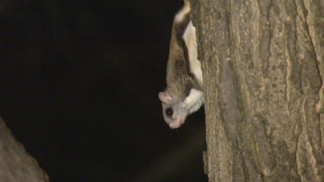 ms zo southern flying squirrel (glaucomys volans) on tree trunk, tweed, ontario, canada - one animal stock-videos und b-roll-filmmaterial