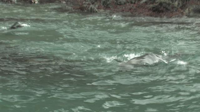 MS, PAN, Southern fur seal (Arctocephalus gazella) swimming at rocky shoreline, South Georgia Island, Falkland Islands, British overseas territory,
