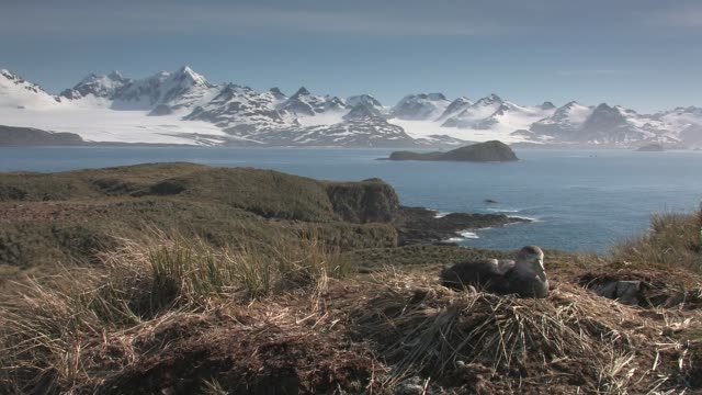 vídeos de stock e filmes b-roll de ws, southern giant petrel (macronectes giganteus) on nest, bay and snowy mountains in background south georgia island, falkland islands, british overseas territory - ilha geórgia do sul