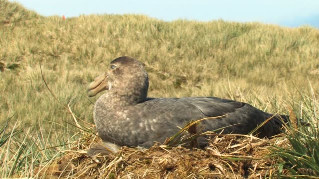ms, southern giant petrel (macronectes giganteus) on nest, south georgia island, falkland islands, british overseas territory - insel south georgia island stock-videos und b-roll-filmmaterial