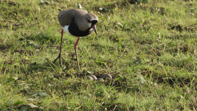 Southern lapwing (Vanellus chilensis) approaches eggs in nest and settles down to incubate them.
