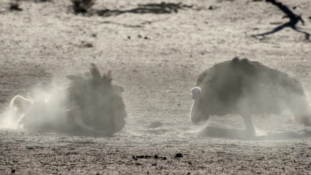 Southern ostriches dustbathing