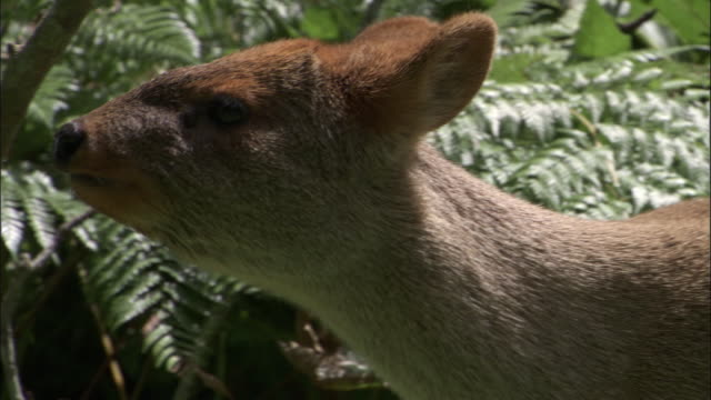 southern pudu at forest edge, chile - inquadratura fissa video stock e b–roll