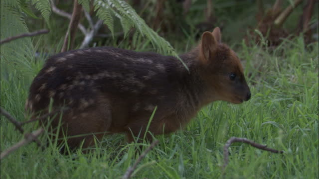 southern pudu fawn at forest edge, chile - hirsch stock-videos und b-roll-filmmaterial