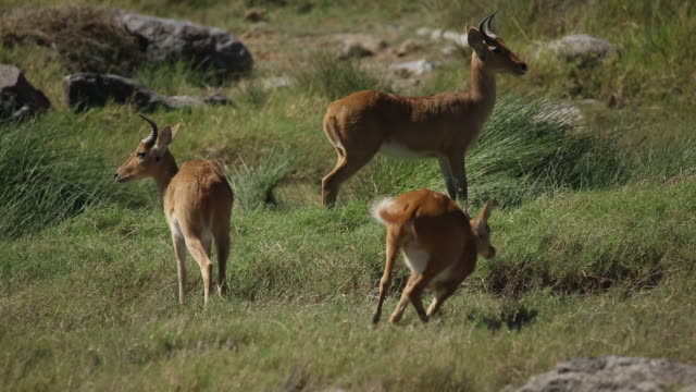 southern reedbuck 2