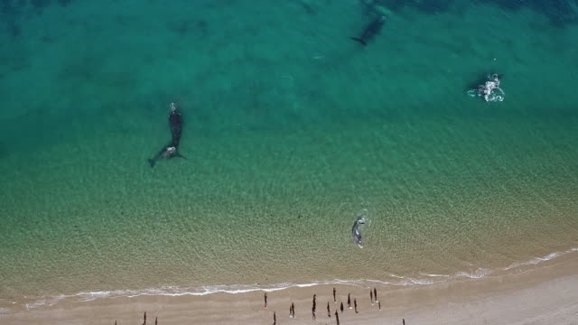 southern right whale aerial, baby got stuck on the beach - shallow stock videos & royalty-free footage