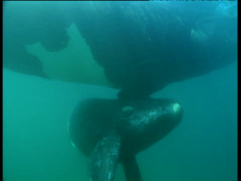 southern right whale and calf swim in ocean, patagonia - calf stock videos and b-roll footage