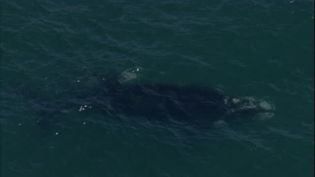 A southern right whale and her calf surface. Available in HD.