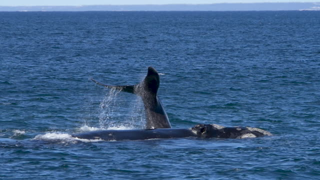 Southern right whale bashing the tail, slow motion