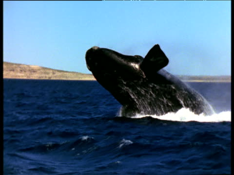 Southern Right whale breaches, Valdes peninsula