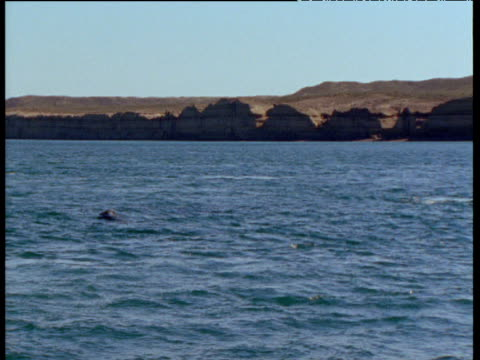 Southern right whale breaches with a splash, Patagonia