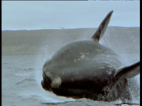 southern right whale breaches with a splash, patagonia - whale stock videos & royalty-free footage
