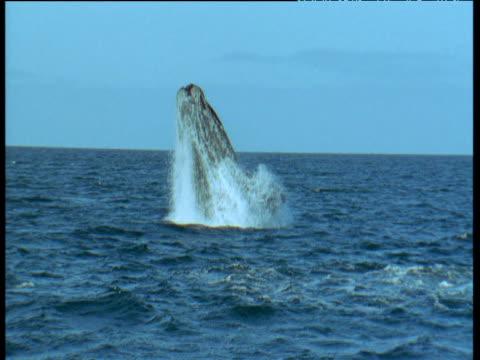 vidéos et rushes de southern right whale breaches with a splash, patagonia - cetacea