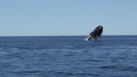 vídeos de stock, filmes e b-roll de southern right whale breaching - oceano atlântico