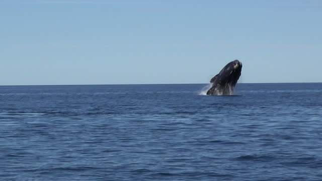 stockvideo's en b-roll-footage met southern right whale breaching - walvis
