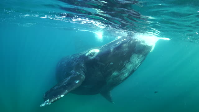 southern right whale calf comes and turns in front of the camera, nuevo gulf, valdes peninsula. - southern right whale stock videos & royalty-free footage