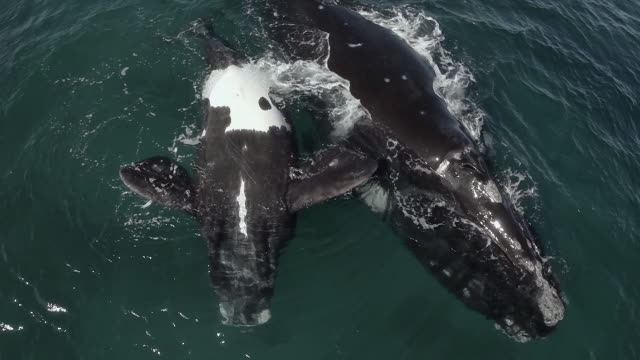 Southern right whale calf floating on the back, mother ascending