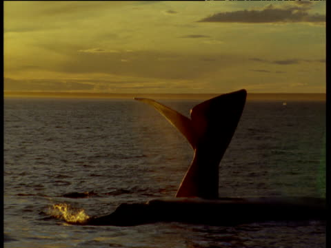 southern right whale headstands as two more surface and spout at sunset, patagonia - tail fin stock videos & royalty-free footage