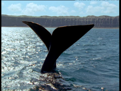 southern right whale holds its flukes and tail out of the water, then dives underwater, patagonia - tail fin stock videos & royalty-free footage